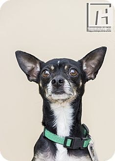 Chihuahua/Toy Fox Terrier Mix Dog for adoption in Baltimore, Maryland - Reptar