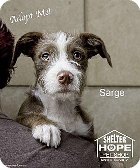 Schnauzer (Standard)/Terrier (Unknown Type, Medium) Mix Puppy for adoption in Valencia, California - Sgt. Pepper (Sarge)