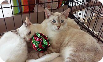 Colorpoint Shorthair Kitten for adoption in Woodstock, Georgia - Adelphi