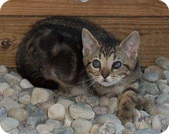 Bengal Kitten for adoption in Lisbon, Ohio - Bon Jovi (aka BJ) - ADOPTED!