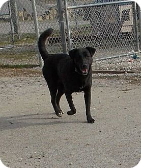 Labrador Retriever Mix Dog for adoption in Lewisburg, Tennessee - Windy