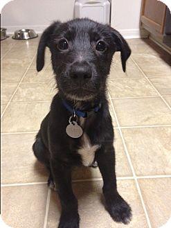 Labrador Retriever/Terrier (Unknown Type, Medium) Mix Puppy for adoption in Marietta, Georgia - Zeus