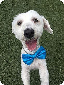 Havanese/Poodle (Miniature) Mix Dog for adoption in Hollister, California - Bowie