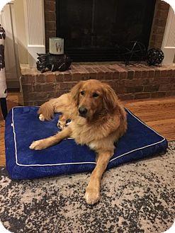 Golden Retriever Dog for adoption in Alpharetta, Georgia - MurphyLee