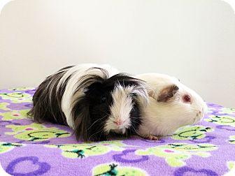 Guinea Pig for adoption in Grand Rapids, Michigan - Pepé & Pogo