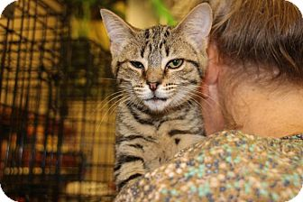 American Shorthair Kitten for adoption in Hazlet, New Jersey - Mandy