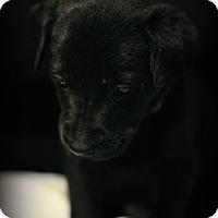 Adopt A Pet :: Solomon - Fredericksburg, VA