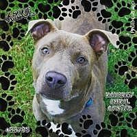 Adopt A Pet :: Azul - Chattanooga, TN