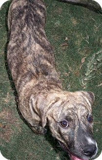 Mastiff Mix Dog for adoption in Pipe Creed, Texas - Maddy