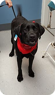 Labrador Retriever Mix Dog for adoption in Maryville, Illinois - Rebel