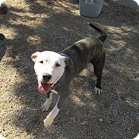 Bull Terrier Mix Dog for adoption in Sierra Vista, Arizona - Tucker