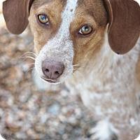 Beagle/Cattle Dog Mix Dog for adoption in Hooksett, New Hampshire - Marta *ADOPTION PENDING*