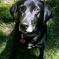 Labrador Retriever Mix Dog for adoption in Manchester, New Hampshire - HALLIE IN MASSACHUSETTS