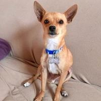 Adopt A Pet :: Theo - Rio Rancho, NM