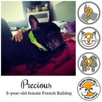 French Bulldog Mix Dog for adoption in Everett, Washington - Precious *PENDING*