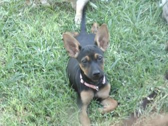 Chihuahua Mix Dog for adoption in Las Cruces, New Mexico - Harper