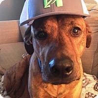 Adopt A Pet :: CHARLIE - I need a brawny male buddy - DeLand, FL