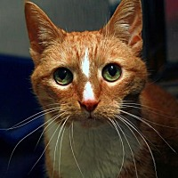 Adopt A Pet :: Chloe (Declawed) - St. Louis, MO