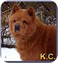 Chow Chow Mix Dog for adoption in Aldie, Virginia - K.C.