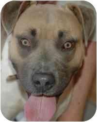 Black Mouth Cur/Shepherd (Unknown Type) Mix Dog for adoption in Sacramento, California - Katie Sheehan