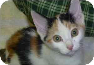 Calico Kitten for adoption in Augusta, Georgia - Cassidy