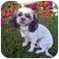 Photo 3 - Shih Tzu Dog for adoption in Los Angeles, California - SOOKI