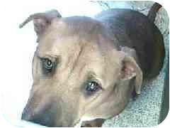 Labrador Retriever Mix Dog for adoption in Hawthorne, California - Diesel