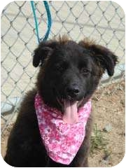 Australian Shepherd/Labrador Retriever Mix Puppy for adoption in Baltimore, Maryland - Kesa