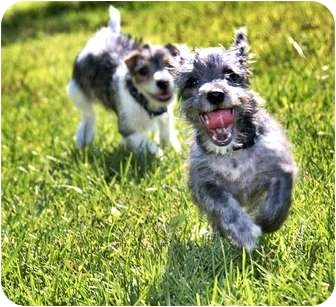 Poodle (Miniature)/Schnauzer (Miniature) Mix Puppy for adoption in north hollywood, California - Dexter
