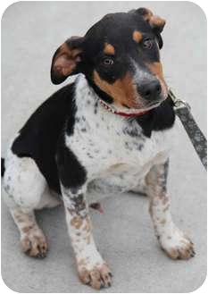 Australian Cattle Dog/Hound (Unknown Type) Mix Dog for adoption in Yuba City, California - Cooper