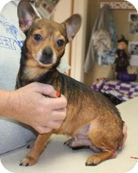 Chihuahua Mix Dog for adoption in Beacon, New York - Marty