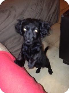 Dachshund Mix Puppy for adoption in Las Vegas, Nevada - Sasha