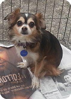 Pomeranian Mix Dog for adoption in Santa Monica, California - Crumpet