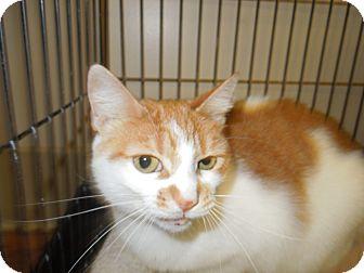 Domestic Shorthair Cat for adoption in Medina, Ohio - Virginia