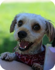 Yorkie, Yorkshire Terrier Dog for adoption in Tinton Falls, New Jersey - Gilby