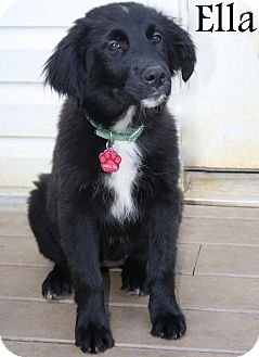 Labrador Retriever/Border Collie Mix Puppy for adoption in New Jersey, New Jersey - Bordentown NJ - Ella