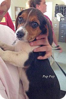 Beagle Mix Dog for adoption in Danielsville, Georgia - Rosey