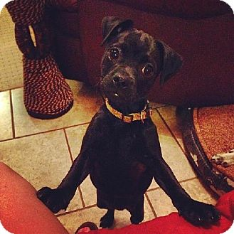 Pug/Miniature Pinscher Mix Puppy for adoption in Tallahassee, Florida - Heidi - adoption pending