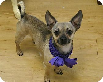 Chihuahua Mix Dog for adoption in High Point, North Carolina - Nate