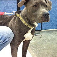 Pit Bull Terrier Mix Dog for adoption in Midlothian, Virginia - Beratta