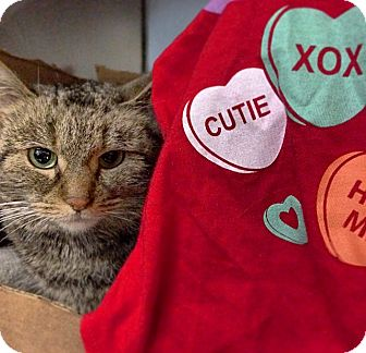 Domestic Shorthair Cat for adoption in New York, New York - Stella