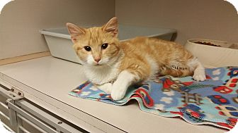 Domestic Shorthair Cat for adoption in Indianola, Iowa - C-13