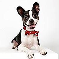Boston Terrier Mix Dog for adoption in New York, New York - Olivier