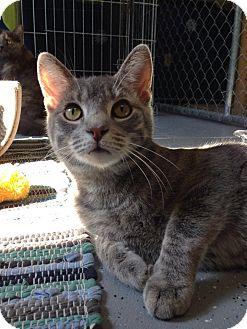 Domestic Shorthair Cat for adoption in Austintown, Ohio - Oscar