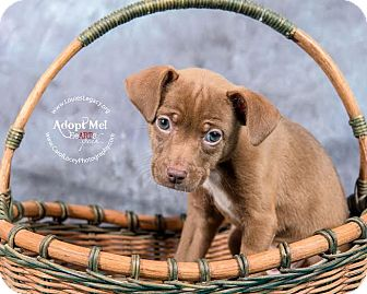 Chihuahua/Jack Russell Terrier Mix Puppy for adoption in Cincinnati, Ohio - Brooke