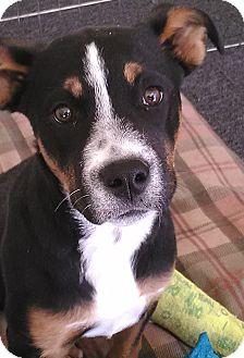 Pit Bull Terrier/Australian Cattle Dog Mix Puppy for adoption in Hurricane, Utah - GABBY