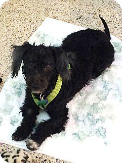 Poodle (Miniature) Mix Dog for adoption in Thousand Oaks, California - Blackie
