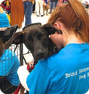 Greyhound/Labrador Retriever Mix Puppy for adoption in Ijamsville, Maryland - Katie
