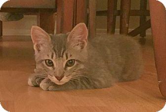 Domestic Shorthair Kitten for adoption in Los Angeles, California - Patrick