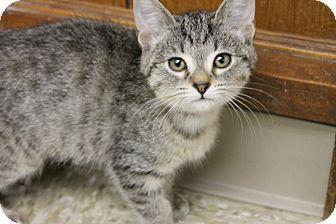 Domestic Shorthair Kitten for adoption in Medina, Ohio - Joy
